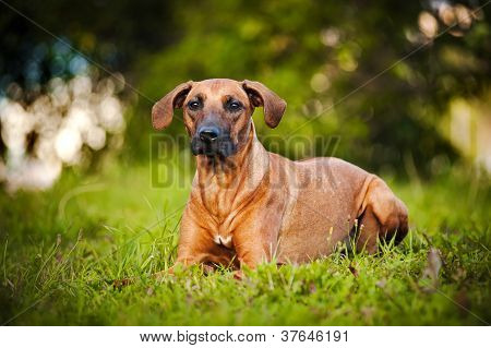 dog Ridgeback lying on the grass