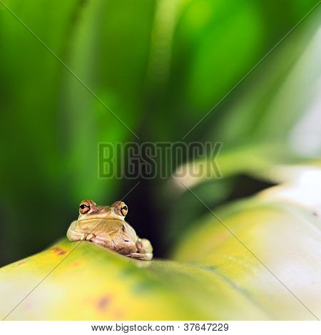 Cuban Tree Frog (osteopilus Septentrionalis)
