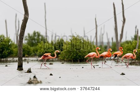 The Pink Caribbean Flamingo Goes On Water.