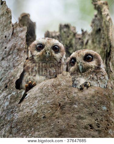 The Bare-legged Owl Or Cuban Screech Owl (gymnoglaux Lawrencii)