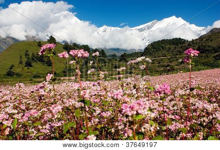 view from annapurna himal to dhaulagiri himal with buckwheat field