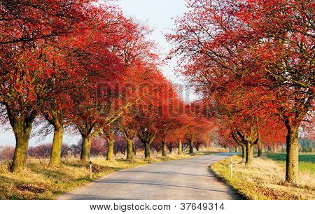 autumnal view of alley of red chokeberry