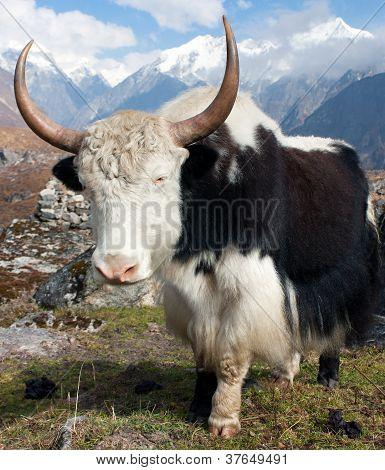 Yak - bos grunniens or bos mutus - in Langtang valley with Langshisha Ri mout - Nepal