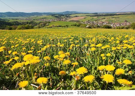 spring time and meadow with common dandelion (taraxacum) - Carpathian mountains