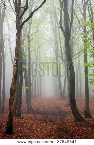 springy view from foggy european beech wood