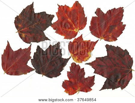 Close-up Collection Fall Autumn Maple Leaves