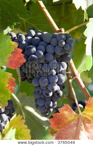 Blue Grapes Surrounded By Autumn Colors