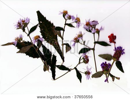 Flattened & Scanned Aster Flower Plants