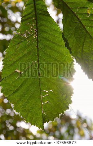 Chesnut Leaf