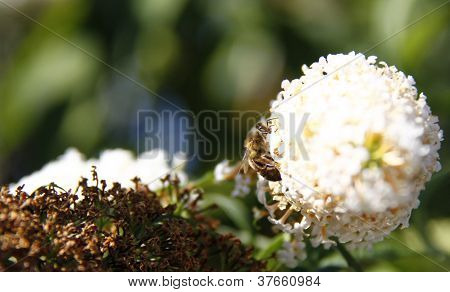 Bee On Buddleja