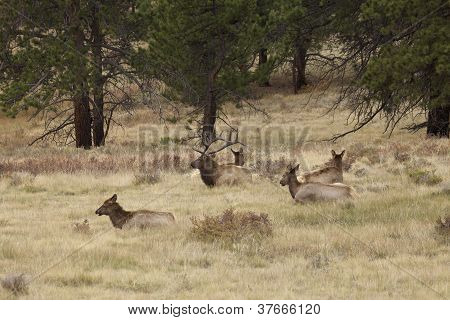 Elk Herd Bedded in Pines