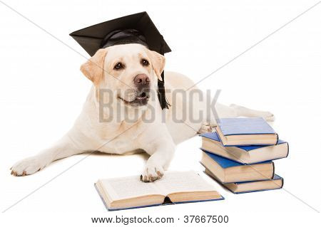 Labrador Retriever With Hat Of Bachelor Reading Books On  Isolated White