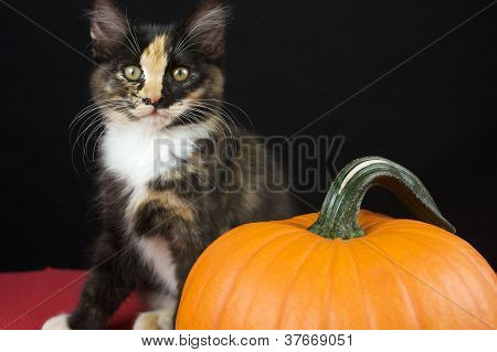 Black Calico Kitten with pumpkin