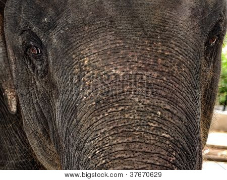 The Elephant Close Up