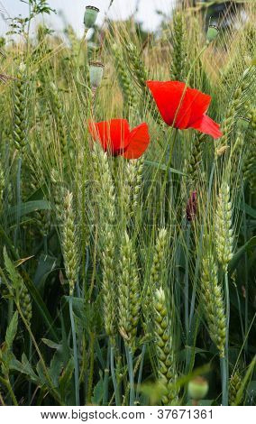 Poppies And Wheat On The Green Field