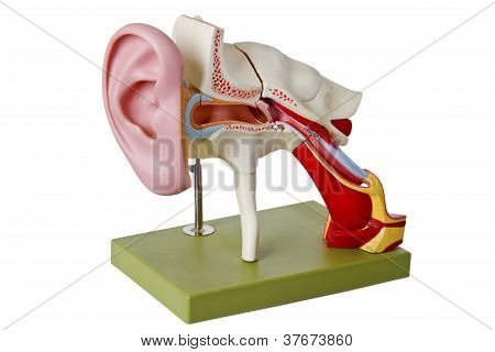 Auditory Canal