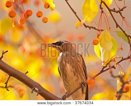 Cedar waxwing in mountain ash tree