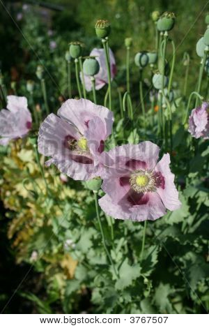 The Blooming Of The Poppy Flowers