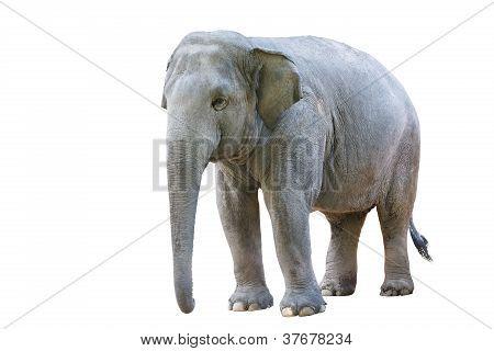 Asian elephant female Isolated on white background