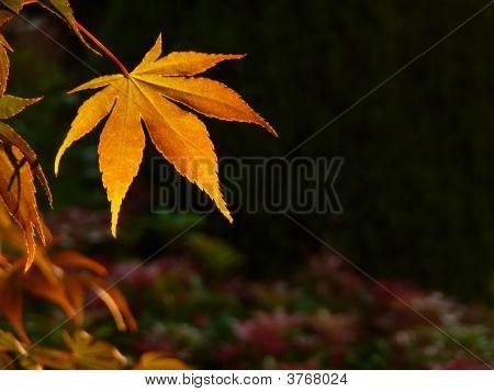 Autumn Sunset Maple Leaf Background