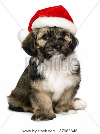 Cute Christmas Havanese Puppy Dog With A Santa Hat