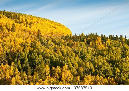 Mountain Of Aspen Trees In Autumn
