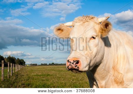 Portrait Of A Cream Colored Cow With Horns