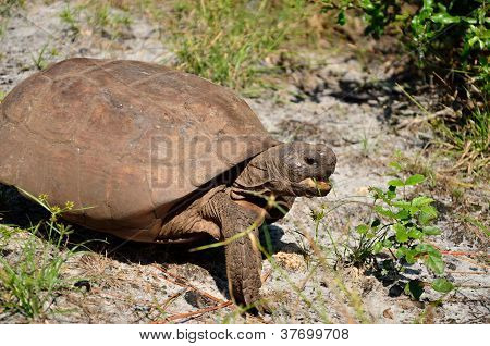 Open mouthed gopher tortoise