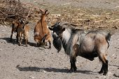 domestic goats outdoor poster