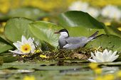 foto of tern  - A whiskered tern laying on eggs among water lilly