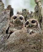 stock photo of screech-owl  - The Bare - JPG