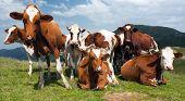 Постер, плакат: Группа коров bos primigenius taurus в Альпах на пастбище
