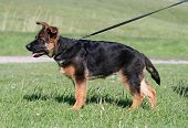 stock photo of german-sheperd  - A beautiful German Shepherd puppy in standing pose - JPG