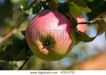 Apple On The Apple Tree