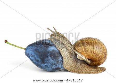 Snail eat plum berry