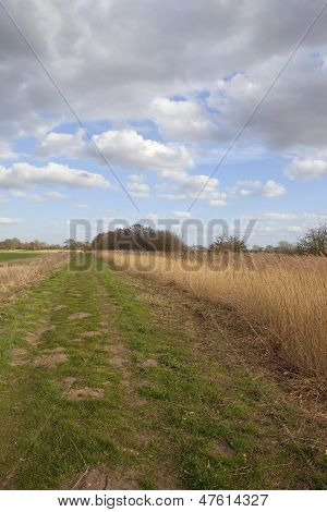 Reed Bed In Springtime