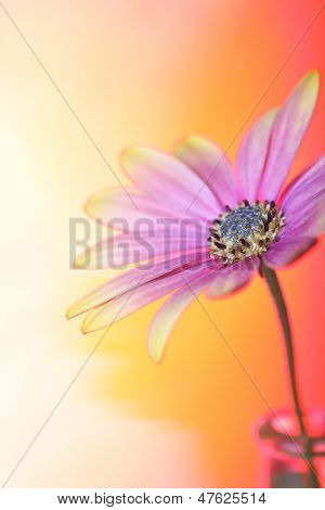 beautiful osteospermum (daisy family), on a gradient background of coloured gels  for a special lighting effect.