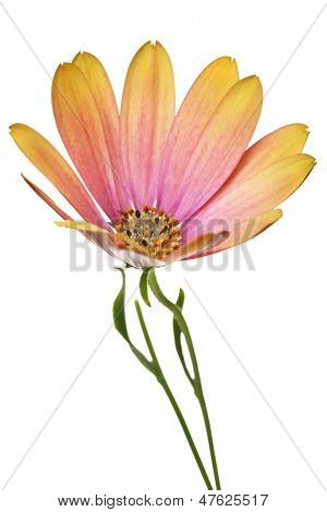single osteospermum flower isolated on a white background