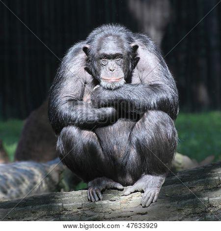 黑猩猩4(chimpanzee 4)chimpanzee 人和黑猩猩杂交图片