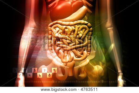 Menselijke spijsverteringsstelsel en Skelton
