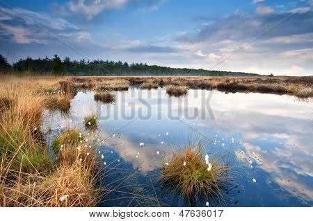 Swamp With Cotton-grass