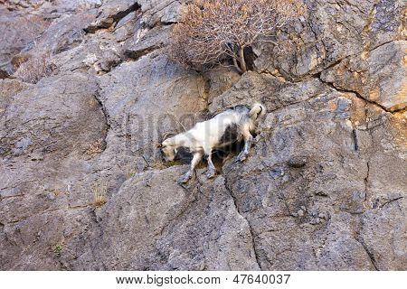 Mountain goats climbing on the rocks