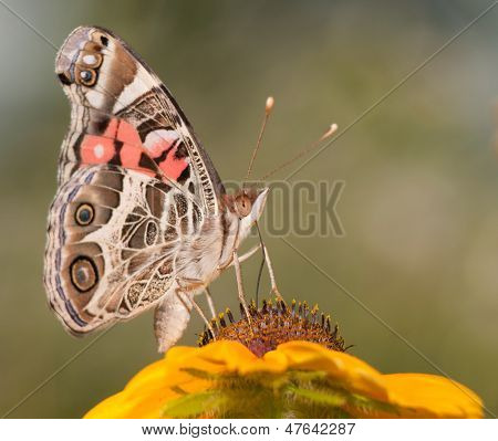 American Painted Lady butterfly feeding on a Black-Eyed Susan flower