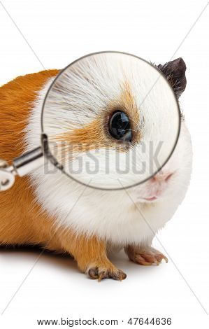 Guinea Pig Looks Throught A Magnifying Glass
