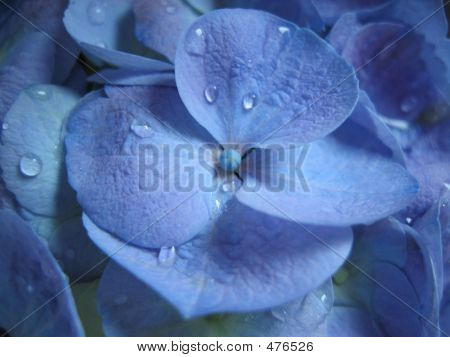 Blue Hydrangea Up Close