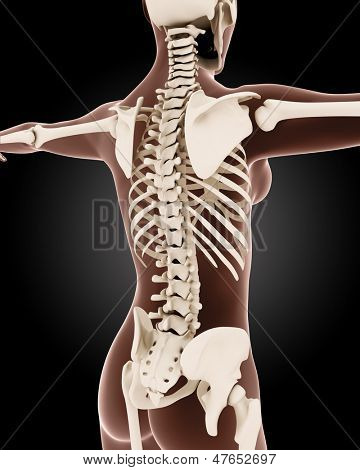 3D render of a female medical skeleton with close up on back