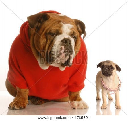 Bulldog In Red Shirt And Pug With Collar