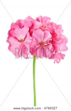 Pink Geranium Flower Isolated
