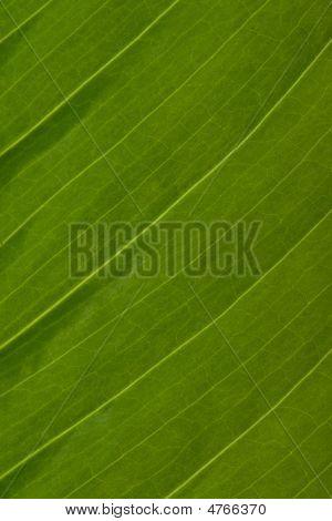 Macro Texture Of Spathiphyllum Leaf