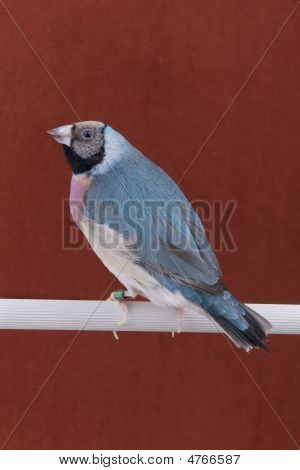 Bird Gouldian Finch